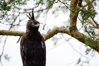 Uganda - Long Crested Eagle Close Up (1)