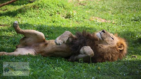 Uganda - Male Lion at UWEC.jpg