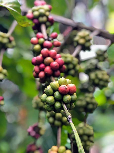 Uganda - Coffee Cheries (1).JPG