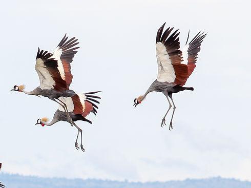 Uganda - Crowned Crane 2.jpg