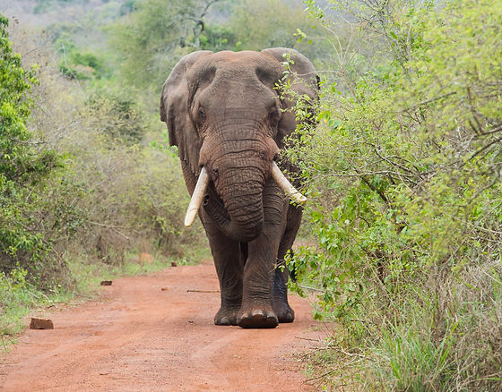 Rwanda - Elephant in Akagera National Pa