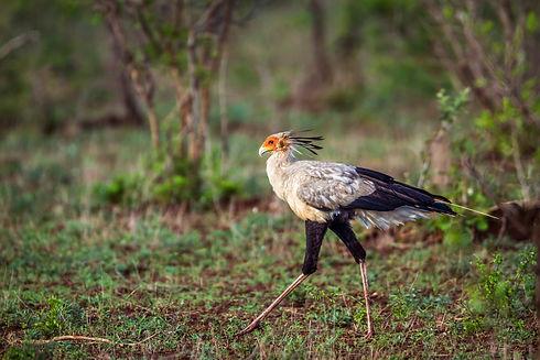 Uganda - Secretary Bird Pian Upe (1).jpg