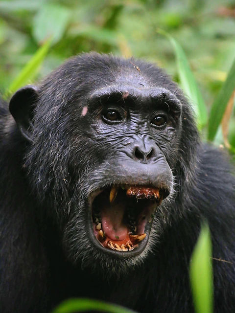 Rwanda - Chimpanzee mouth open.JPG