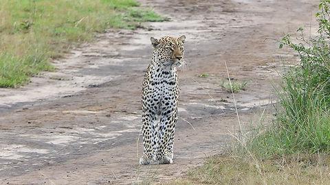 Rwanda - Leopard standing alrert.jpg