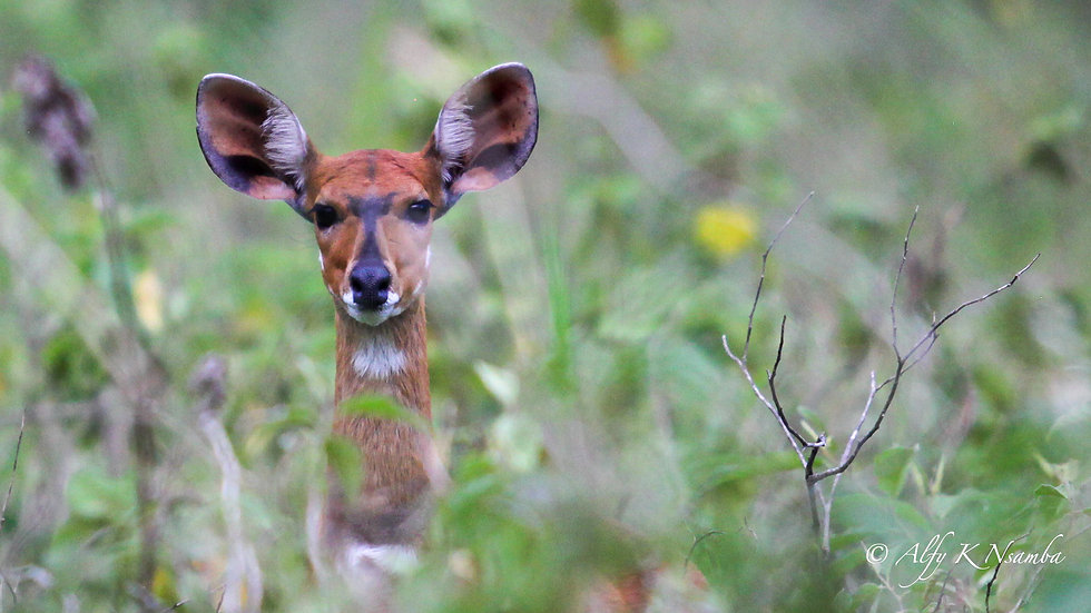 Uganda - Bushbuck in the grass.jpg
