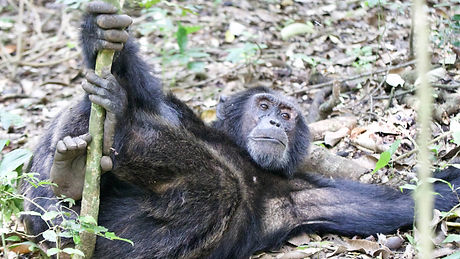 Uganda - Chimpanzee-Relaxing-min.jpg