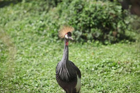 Uganda - Crowned Crane in Entebbe (1).JP