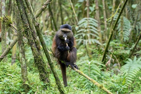 Rwanda - Golden Monkey 1.jpg