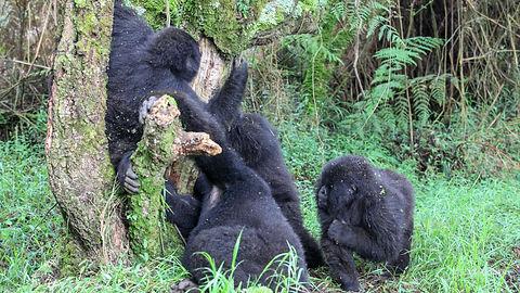 Rwanda - Mountain Gorill a Family.jpg
