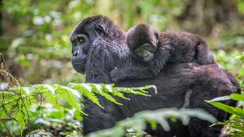 Uganda - Gorilla and Baby.jpg
