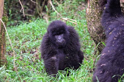 Uganda - Gorilla Trekking 3.JPG