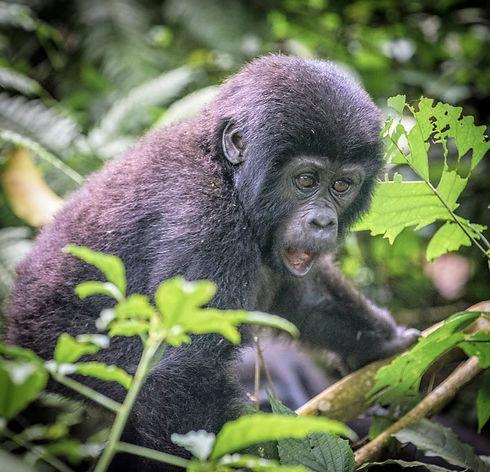 Uganda - Baby Gorilla Mouth Open.jpg