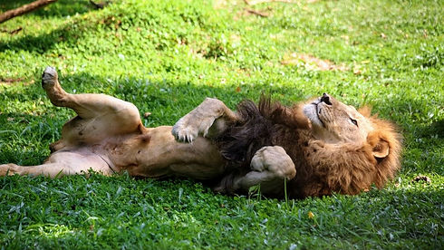 Uganda - Male Lion on his back.jpg