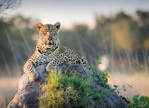 Leopard on a rock (1).jpeg
