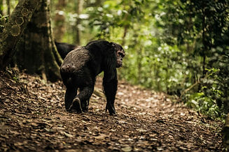 NH_OO_Activities_Chimpanzee_Trek_6853_MA