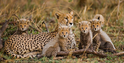 Cheetah Family (1).jpeg