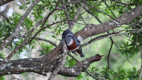 Uganda - Giant Kingfisher-2.jpg