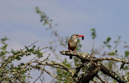 Uganda - Kingfisher.jpg