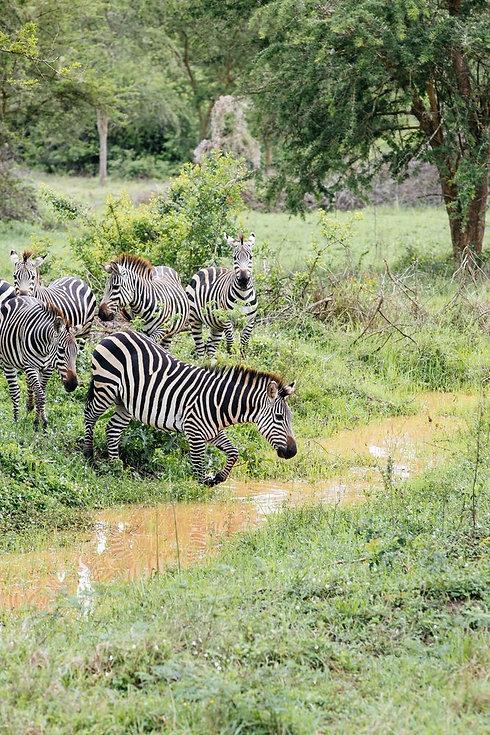 Uganda - Zebras in Lake Mburo National P