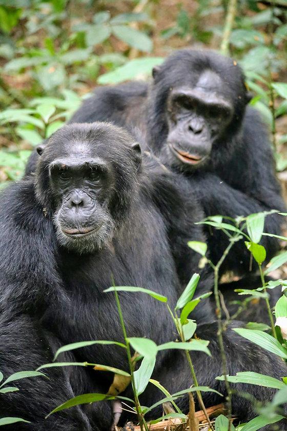 Rwanda - Chimpanzee Grooming.JPG