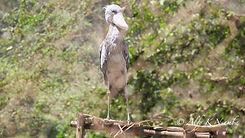 Uganda - Shoebill Stork at UWEC.jpg
