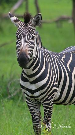 Uganda - Zebra at UWEC.jpg