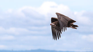 Uganda - Vulture in flight.jpg