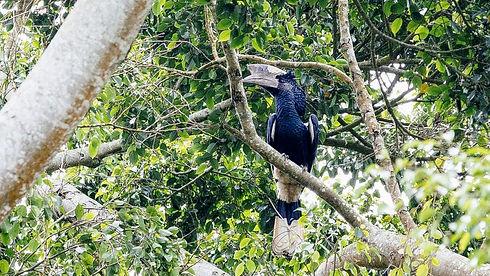 Uganda - Silvery Cheeked Hornbill.JPG