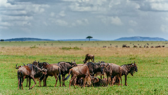 Tanzania - Great Migration - Wildebeest.