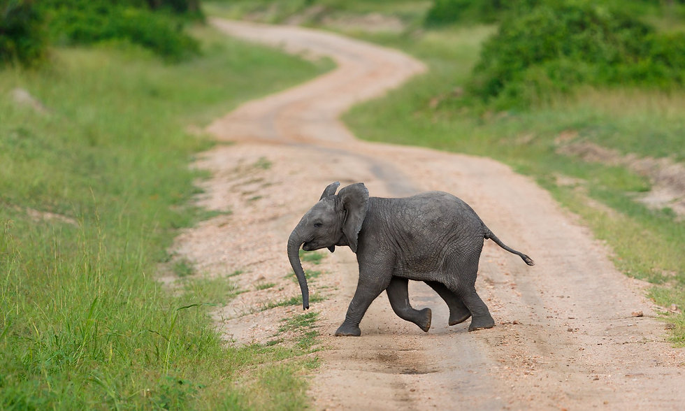 Uganda - Baby Elephant (1).jpg