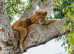 Uganda Lion - Domestic Tourism .jpg