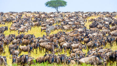 Tanzania - Great Migration - Widlebeest
