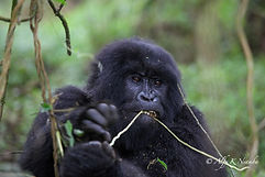 Uganda - Small Gorilla Eating a Vine.jpg