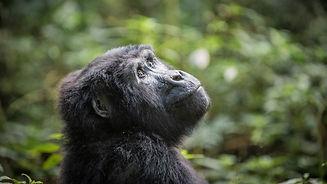 Rwanda - Young Gorilla Gaze.jpg