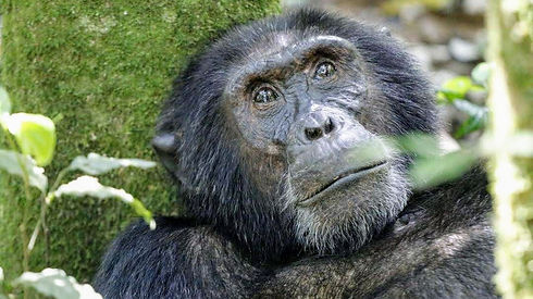 Uganda  - Chimpanzee Stare.jpg