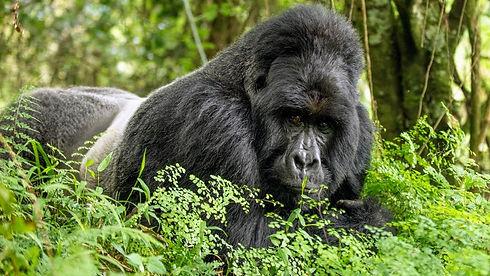 Uganda - Silverback Dominant Stare.jpg