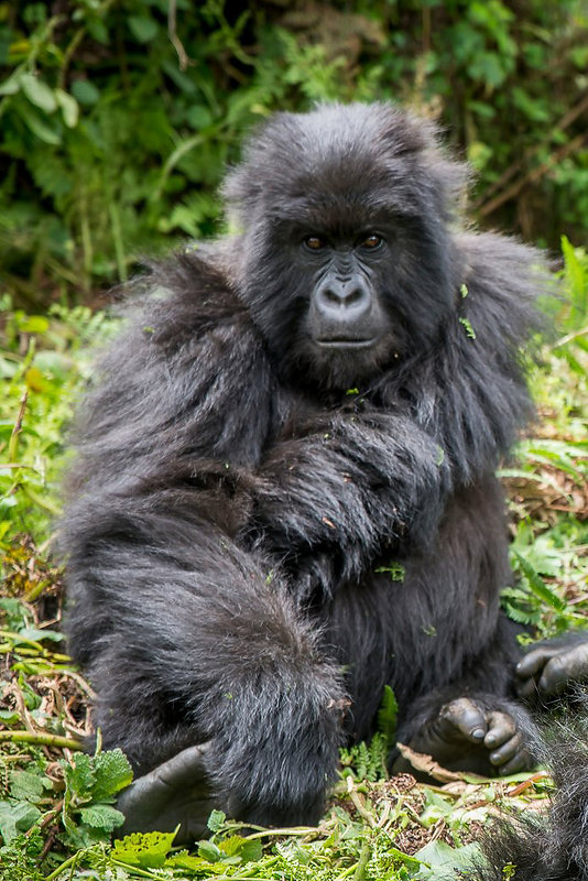 Uganda - Mountain Gorillas in the Forest