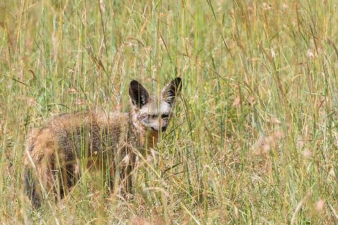 Uganda - Bat Eared Fox PIan Upe (1).jpg
