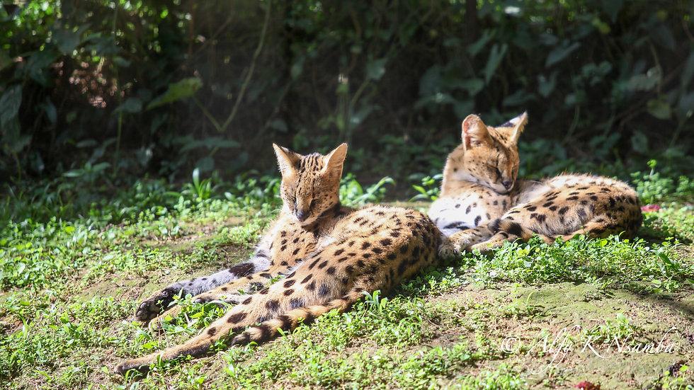 Uganda - Serval Cat UWEC.jpg