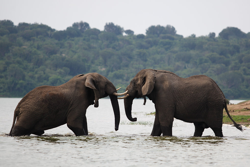 Uganda - Elephants in the Kazinga Channe