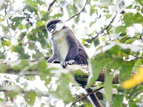 Rwanda - Red Tailed Monkey.JPG