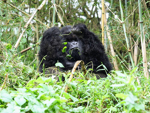 Rwanda - Silverback Gorilla Eating.JPG
