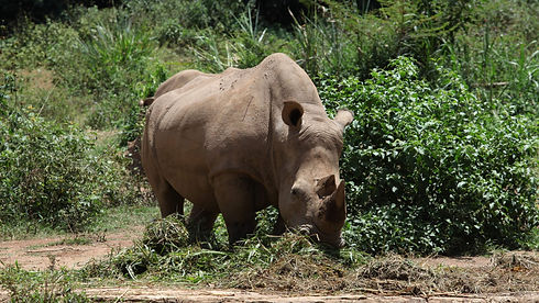 Uganda - Rhino.jpg