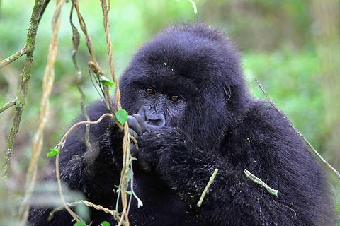 Rwanda - Young Gorilla Eating.JPG