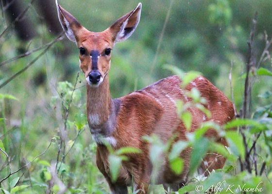 Rwanda - Bushbuck in the long grass.jpg