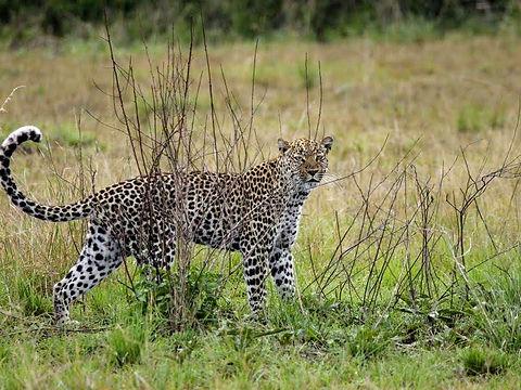 Rwanda - Leopard behing a bush.jpg
