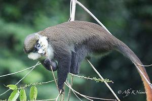 Uganda - Red Tailed Monkey Kibale-2.jpg