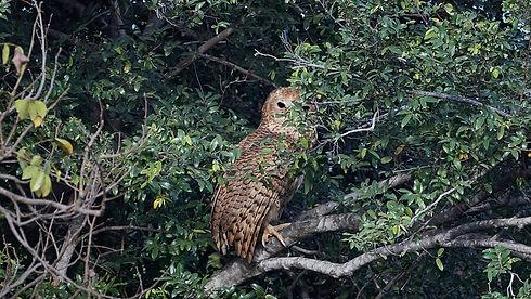 Uganda - Pels Fishing Owl (1).jpeg