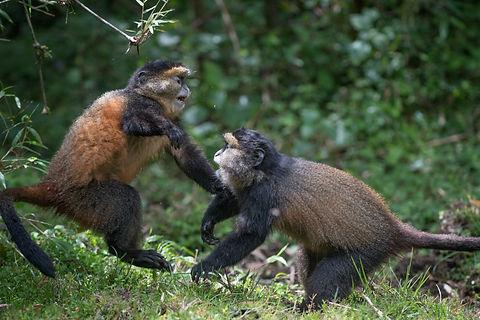 Rwanda - Golden Monkeys playing (1).jpg