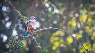 Uganda - Grey Headed Kingfisher.jpg